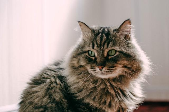 gatto covid