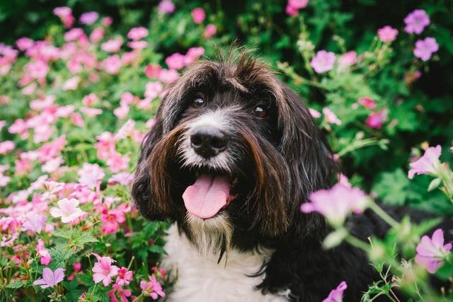 allergia ai pollini nel cane
