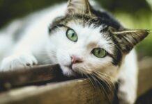 udito dei gatti