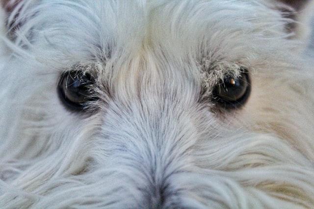 ulcera corneale nel cane