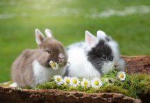 coniglio batte i piedi