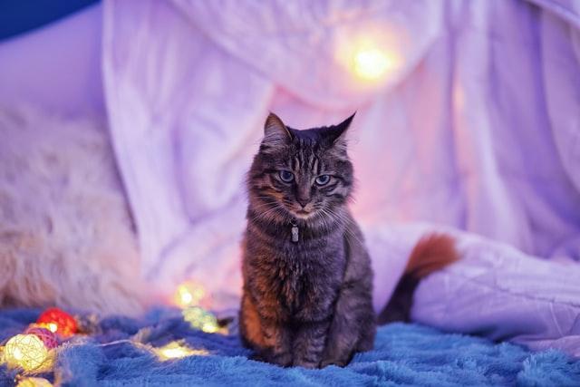 gatto miagola di notte