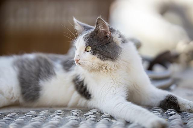 malattie cuore del gatto