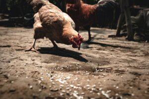 alimenti galline Foto di Jesse Schoff on Unsplash