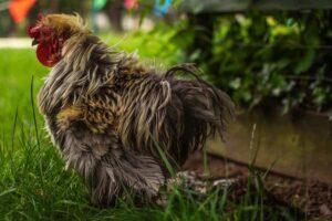 alimenti per galline Foto di Jessica Burnett on Unsplash
