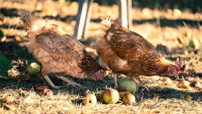 alimenti per galline mele Foto di Olivier Mary on Unsplash