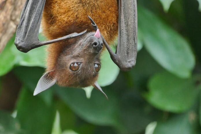 Pipistrelli e Covid-19