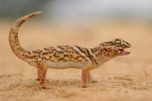 Caratteristiche dei gechi geco gigante della Namibia