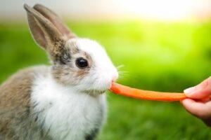 Urine rosse nel coniglio Carota