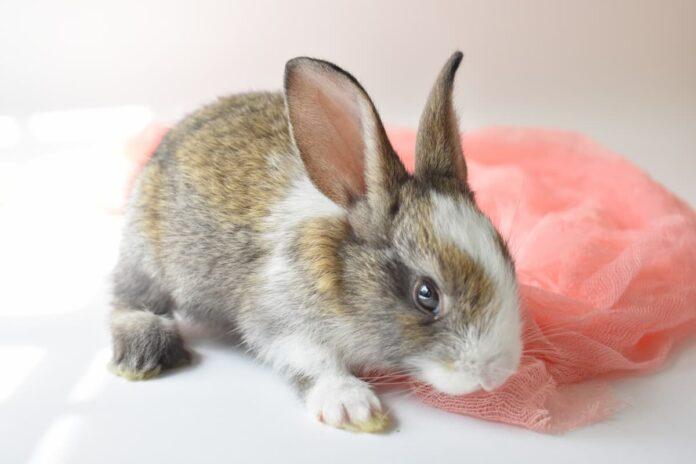 Urine rosse nel coniglio