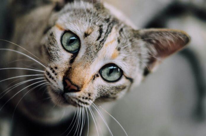come il gatto vede l'uomo occhi foto di Chaiyaporn Atakampeewong