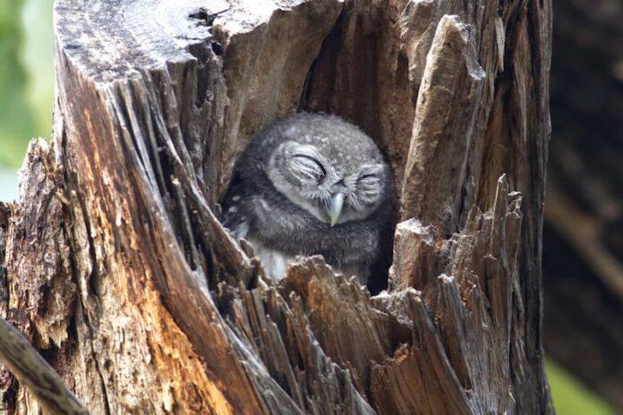 dormono gli uccelli civetta
