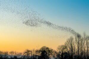 dormono gli uccelli volo storni