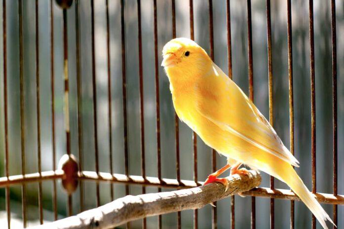 longevità degli uccelli canarino