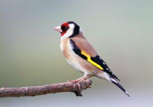 longevità degli uccelli cardellino