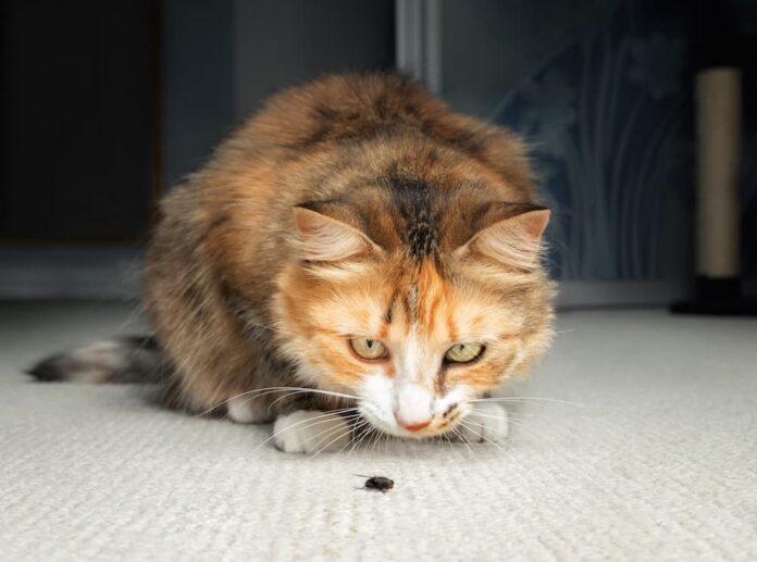 mosche negli animali domestici gatto