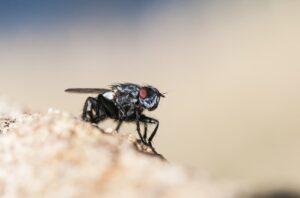 mosche negli animali domestici mosca
