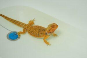 muta nei rettili bagno caldo (1)