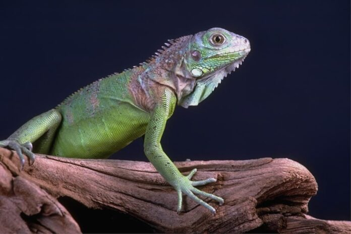 muta nei rettili iguana