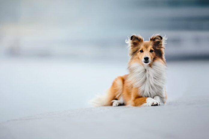 tumori prostatici nel cane Shetland sheepdog