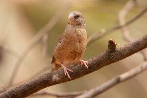 Uccello gola tagliata femmina