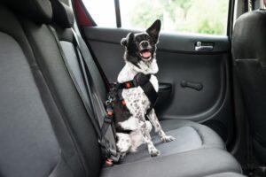 cane nell'auto a noleggio cintura