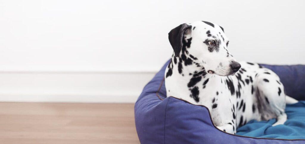 falsa gravidanza nel cane Dalmata