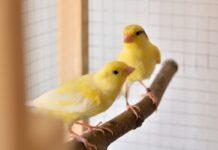 inanellare gli uccelli Canarini
