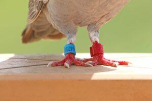 inanellare gli uccelli anelli zampe