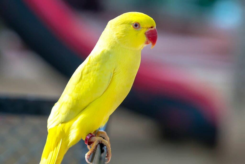 inanellare gli uccelli pappagallo